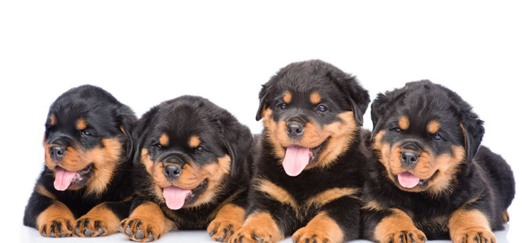 Bringing Your New Puppy Home - Group of puppies Rottweiler lying together in front view.